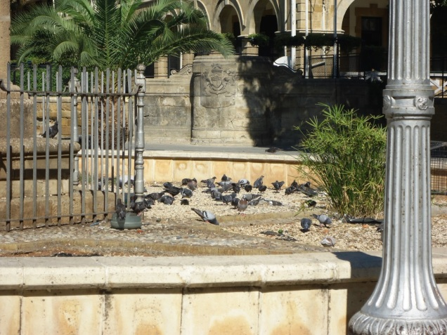 Pigeons in Lefkosa
